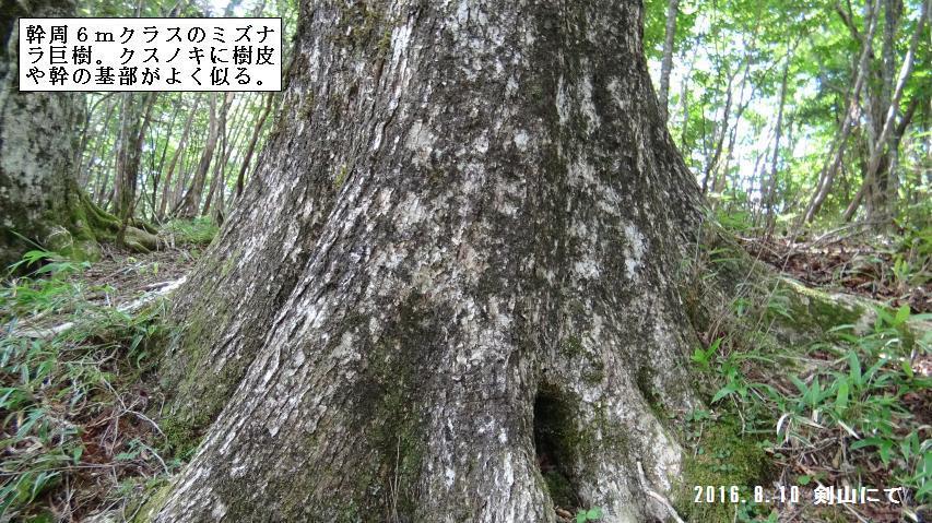 ミズナラの樹皮はクスノキに似る