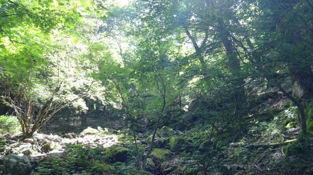 サワグルミの大木が多い