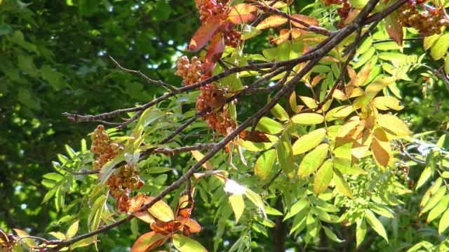 ナナカマドの葉も色づく