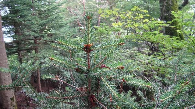 ハリモミの幼木