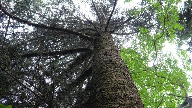 ハリモミの成木