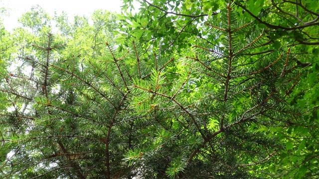 ハリモミの枝