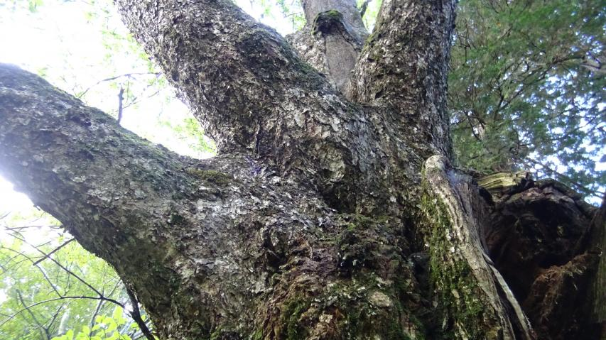 大きな枝を延ばすが、樹は傷んでいる。
