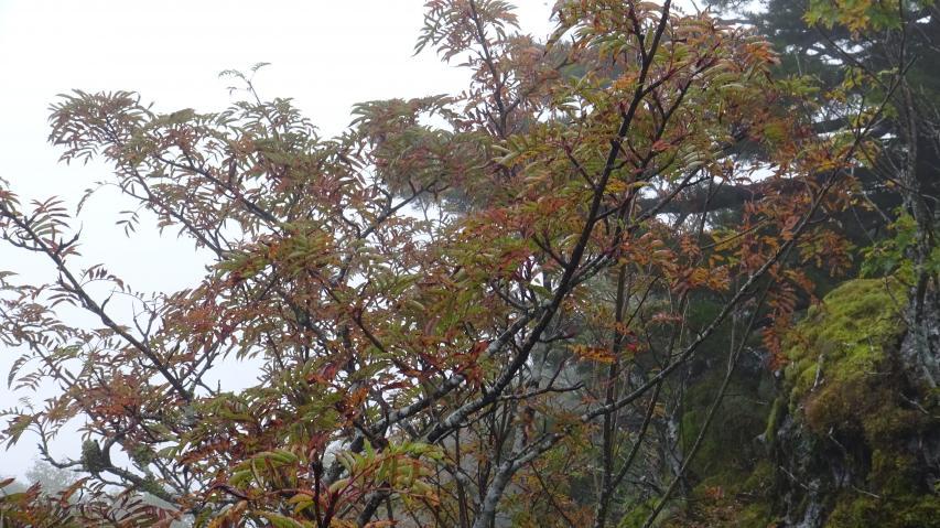 ナナカマドの紅葉が始まった