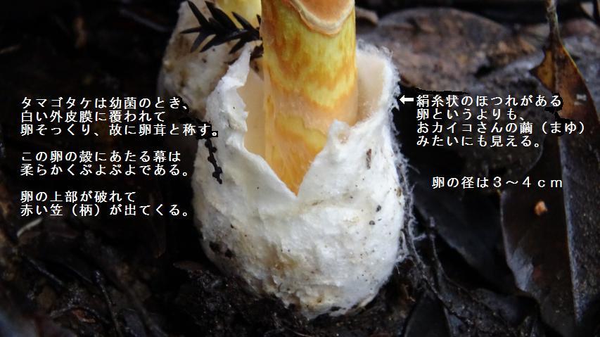 タマゴタケのつぼ
