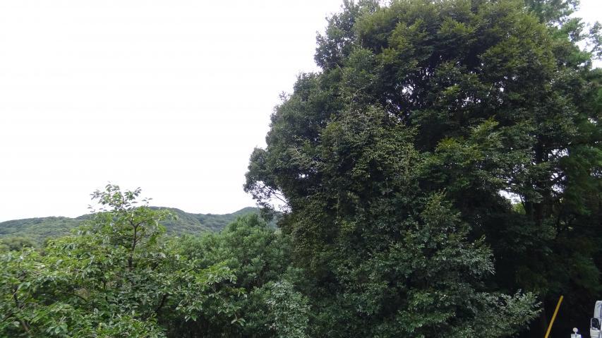 右側のシイノキの根元にタマゴタケが発生した