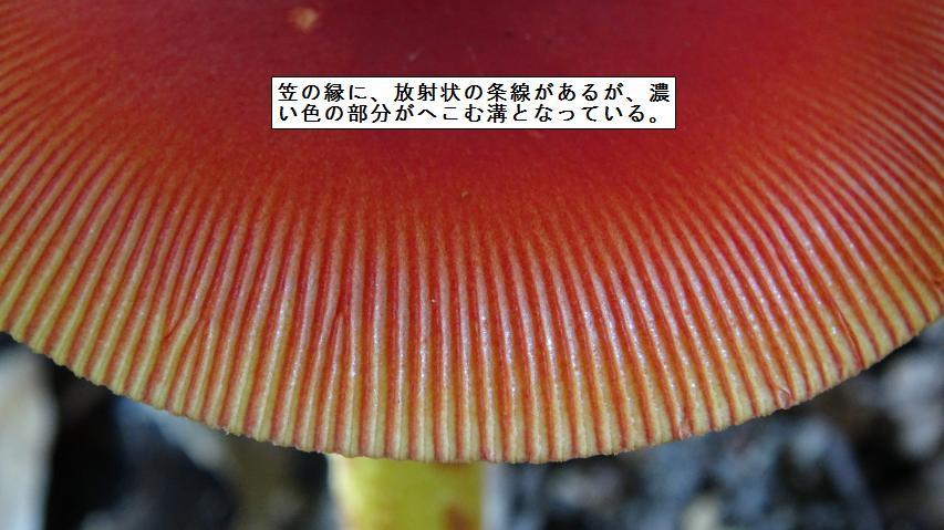 タマゴタケの傘の縁の条腺