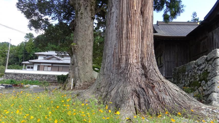 神山町の巨樹