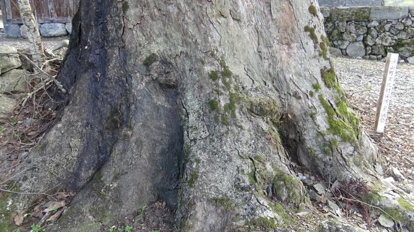巨樹の根際を見て回る