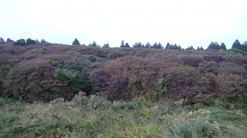 オンツツシ群落の中央部