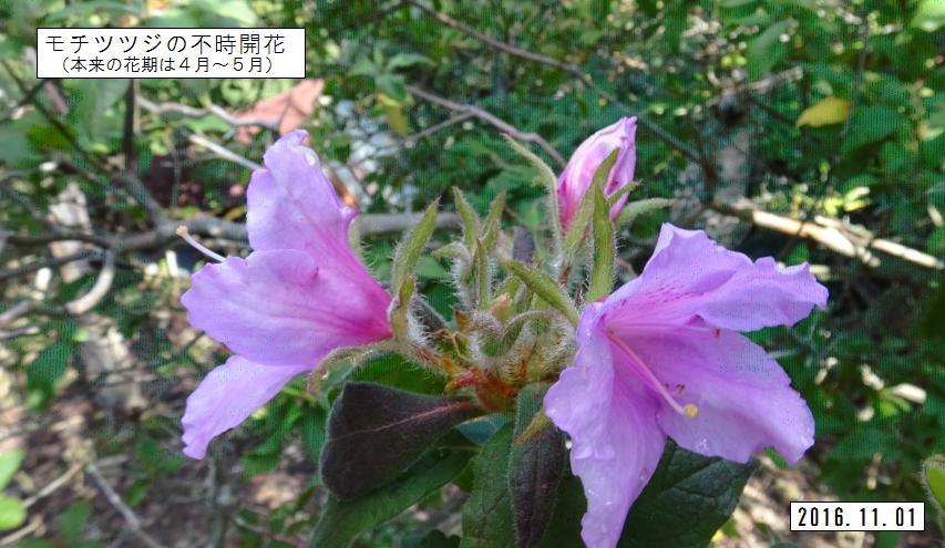 モチツツジの不時開花
