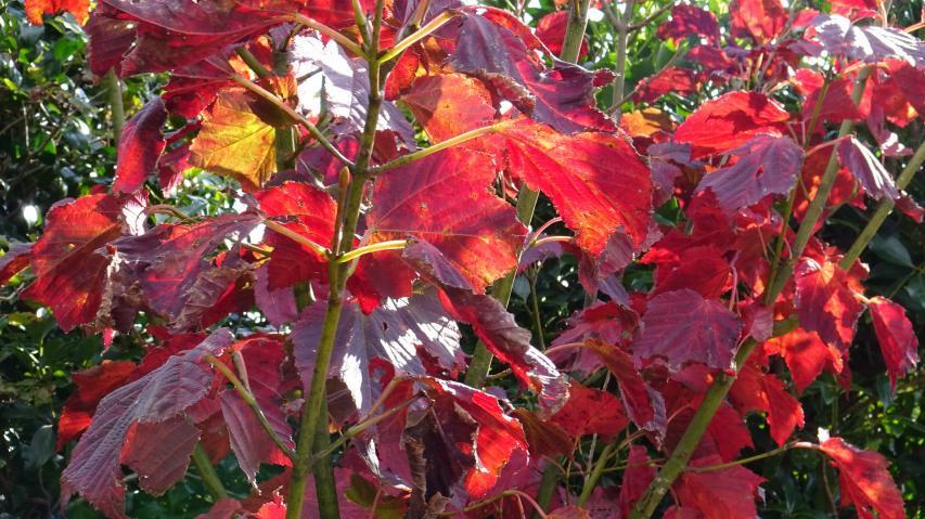 ウリハダカエデの紅葉