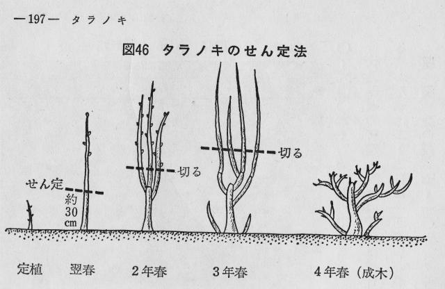 タラノキの剪定方法