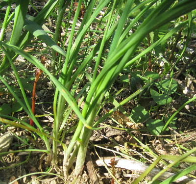春の野草3種 (ノビル) (1)