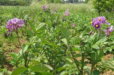 ジャガイモの花 (1)