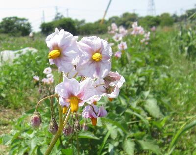 ジャガイモの花 (3)