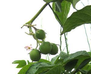 ジャガイモの実 (2)