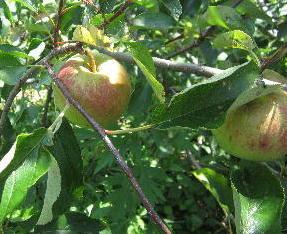 目指せ 奇跡のリンゴ (1)