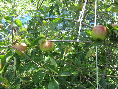 目指せ 奇跡のリンゴ (2)