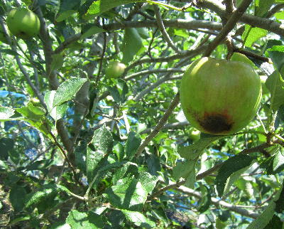 目指せ!奇跡のリンゴⅡ (1)