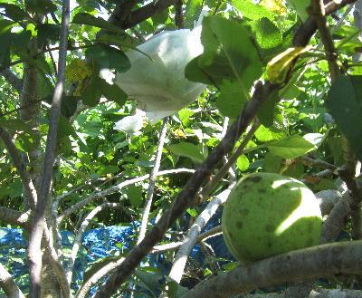 目指せ!奇跡のリンゴ (6)