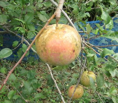 奇跡のリンゴ「ふじ編」 (4)