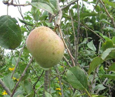 奇跡のリンゴ「ふじ編」 (2)