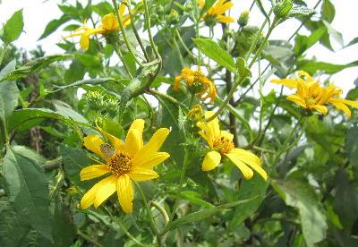 キクイモの花 (2)