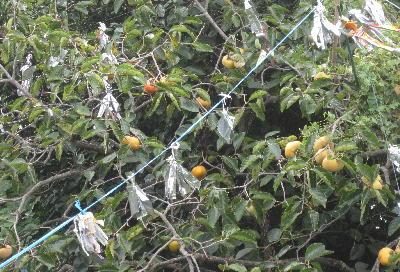 今年の柿 (5)