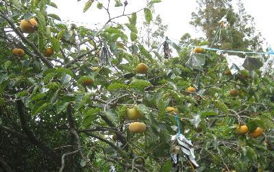 今年の柿 (3)