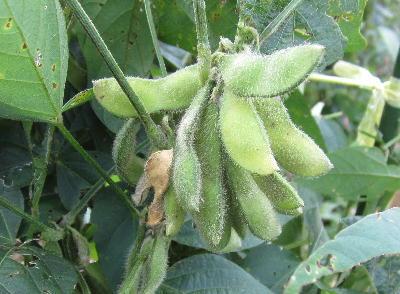 今年の大豆 (カメムシ吸汁さや)
