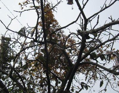 柿の木とムカゴ