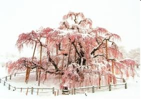 滝桜_0002
