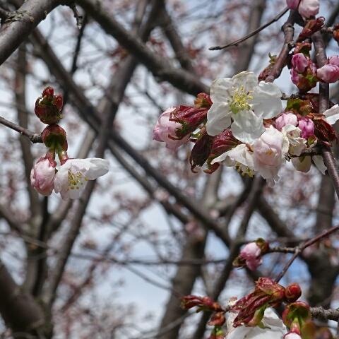 千島桜の大
