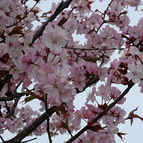 蝦夷やま桜