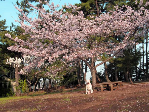 桜の木の下で。ひな