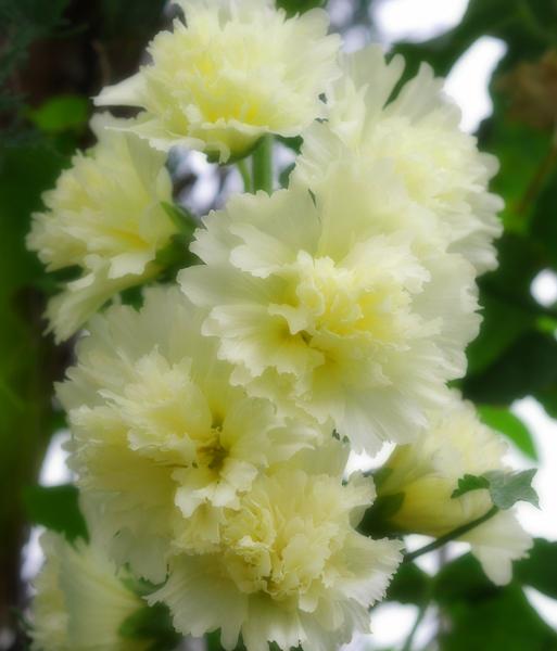 タチアオイの花が咲き1