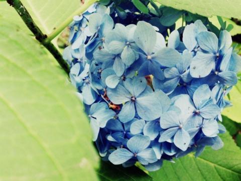 2016-06-29_ajisai_1.jpg
