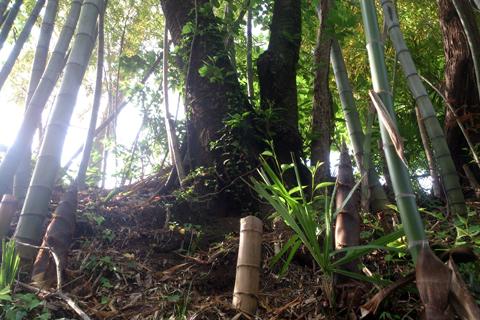 bamboo_nk_1wk_1.jpg