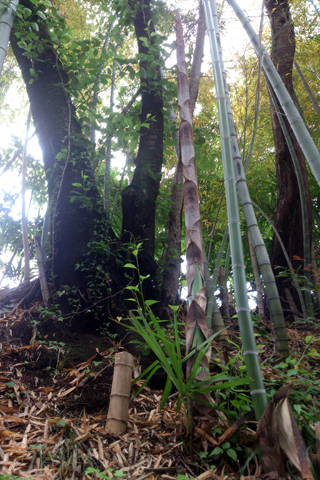bamboo_nk_1wk_7.jpg