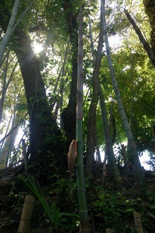 bamboo_nyokinyoki.jpg