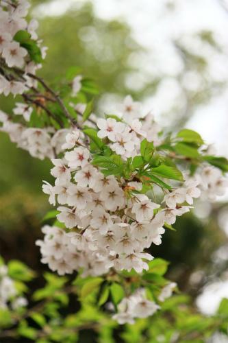 ももたんちの桜