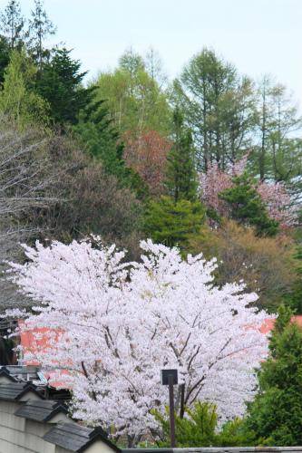とある場所の桜