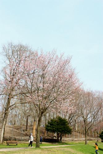 唯一花が咲いてる風の桜
