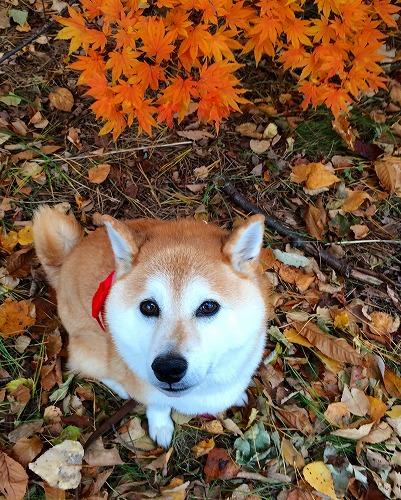 柴犬と紅葉
