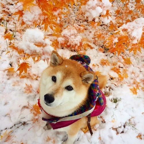 雪と紅葉と柴犬