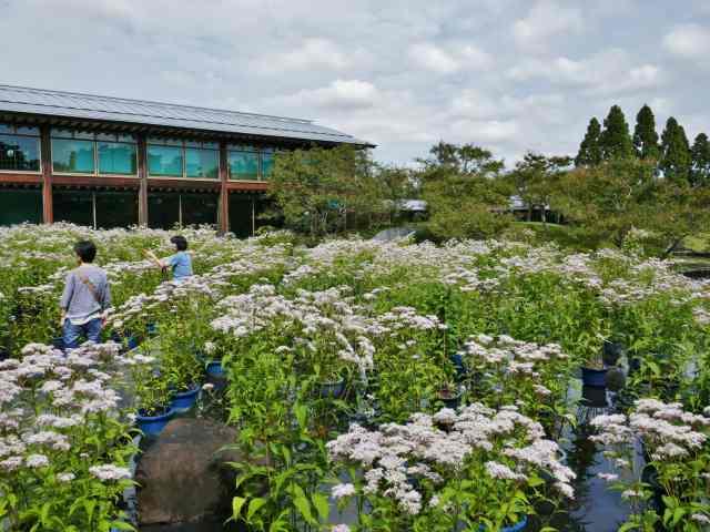 藤袴と和の花展3