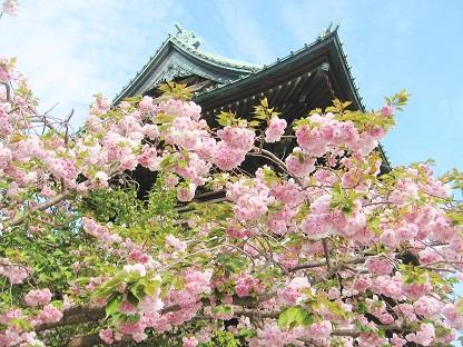 八重桜さん