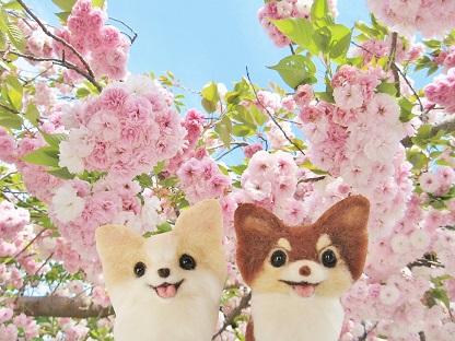 八重桜とチワワ
