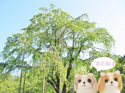 しだれ桜です